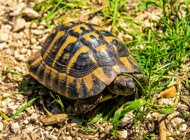 Tortoise. A tortoise in the nature park Hutovo blato, in Bosnia and Herzegovina royalty free stock photo