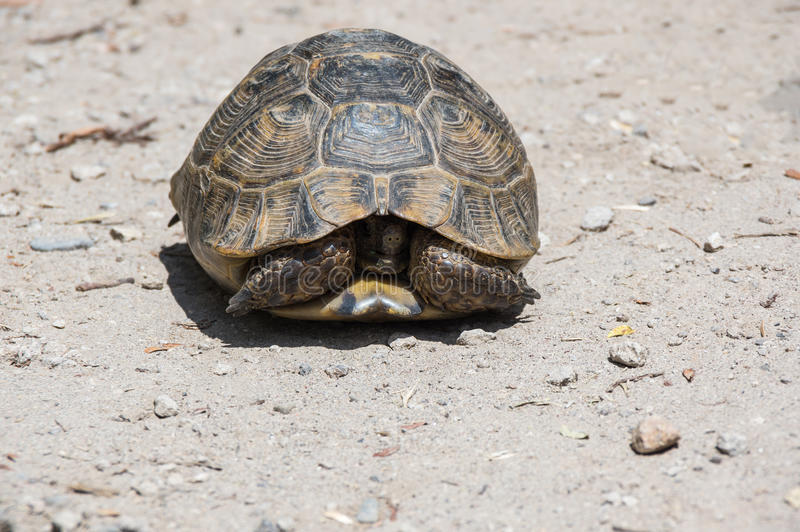 Tortoise on the path. Tortoise hidden in its shell on the path royalty free stock photos