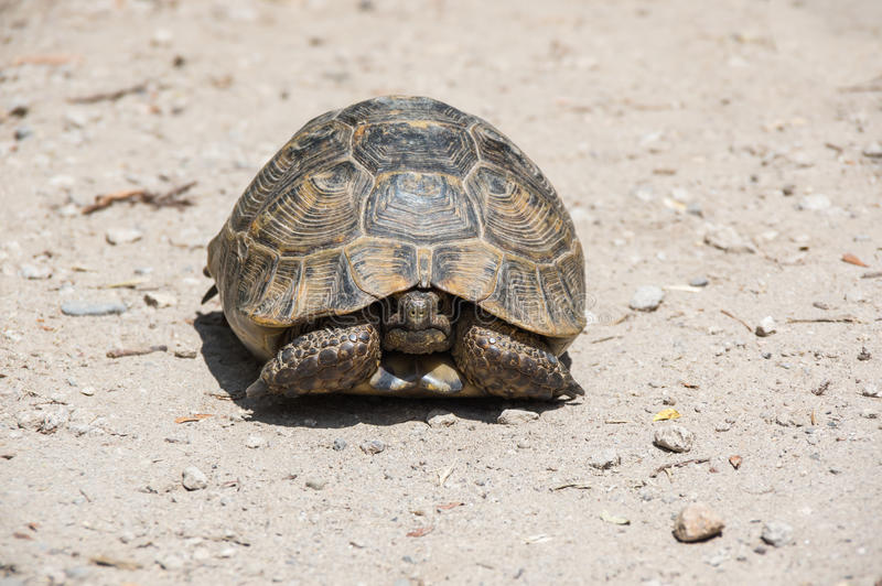 Tortoise on the path. Tortoise hidden in its shell on the path. Tortoises are shielded from predators by a shell stock photo