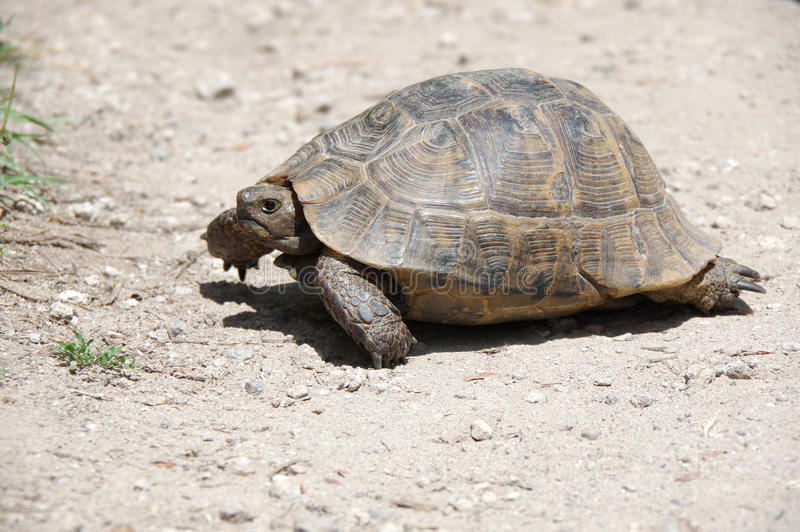 Tortoise on the path. Tortoise walking on the path at sunny day stock photography