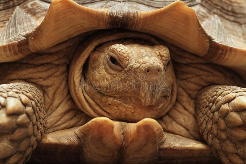 Tortoise portrait. Close up of facial features of a tortoise showing detail of scaly skin and shell, landscape orientation royalty free stock image