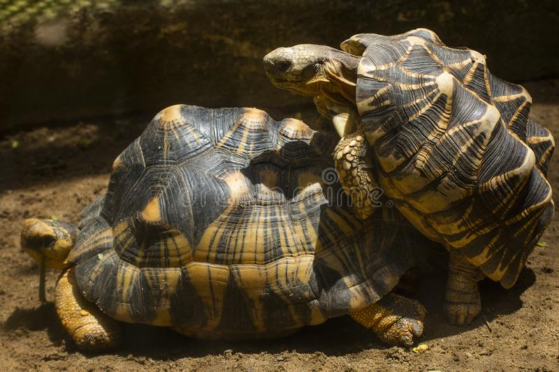Tortoise is reproducing in the desert. Slow life,thailand,Sulcata royalty free stock photo