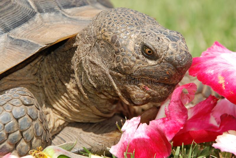 Download Tortoise With Rose Petals stock image. Image of close - 2528777