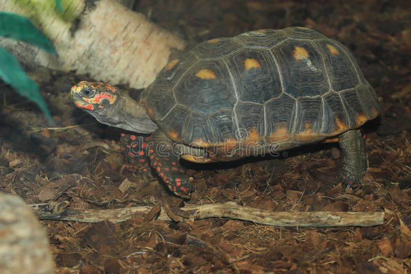 tortoise Rosso-footed fotografia stock