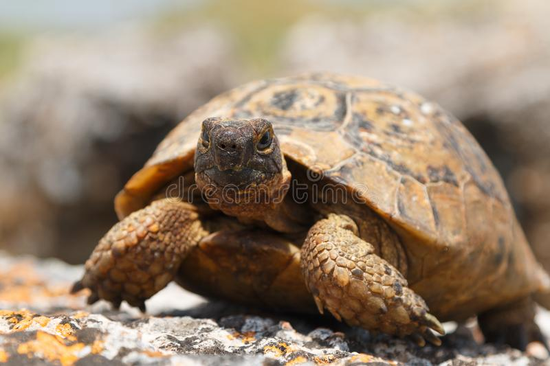 Tortoise on the ruins of the ancient town Tripolis royalty free stock photos