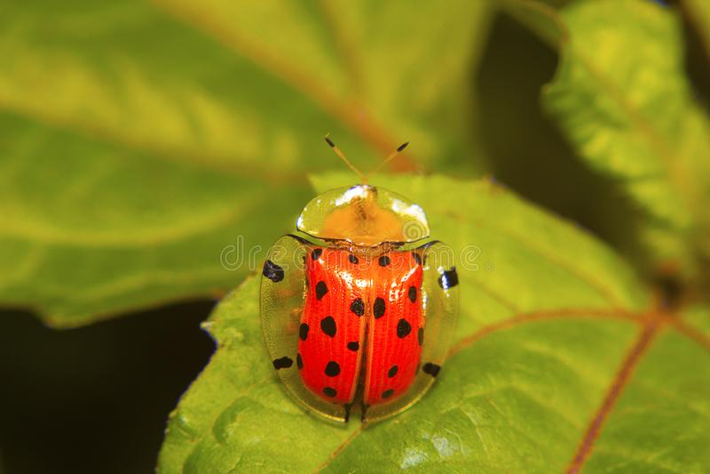 Tortoise shell beetle . Aspidomorpha miliaris. Aarey colony, Mumbai, Maharashtra stock photos