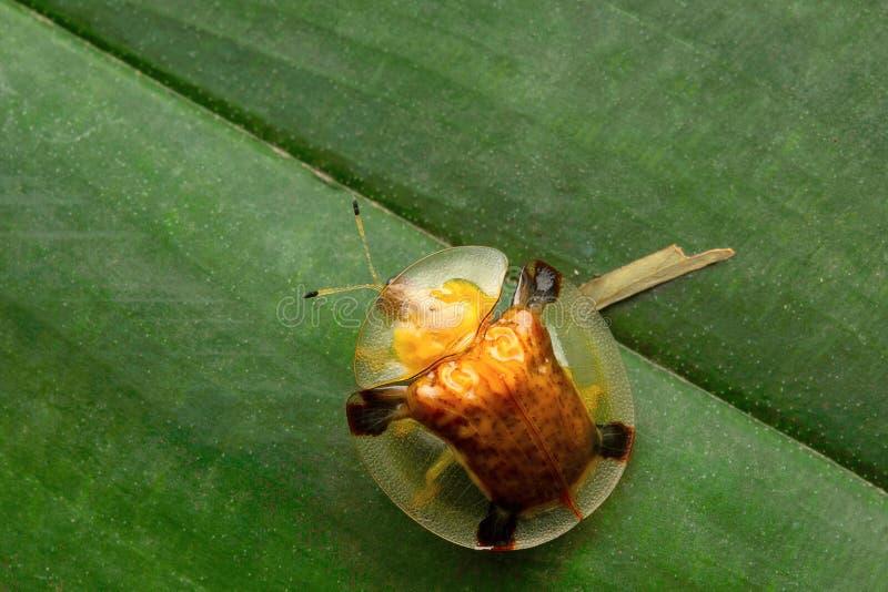 Tortoise-shell kever, Aarey-Melkkolonie, INDIA royalty-vrije stock afbeeldingen