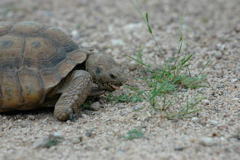 Tortoise Snacks stock photo