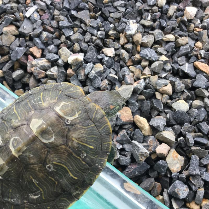 The tortoise royalty free stock photo