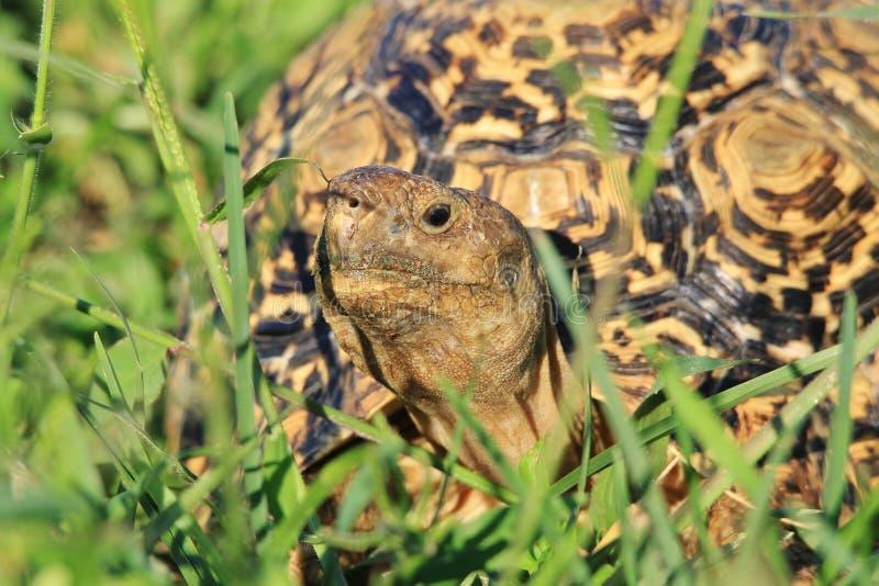 Tortoise tło Śmieszna twarz - Dziki Afryka - obraz stock