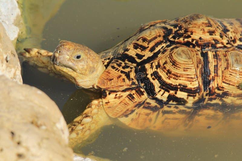 Tortoise tło - Afrykańscy przyroda wzory zdjęcie stock