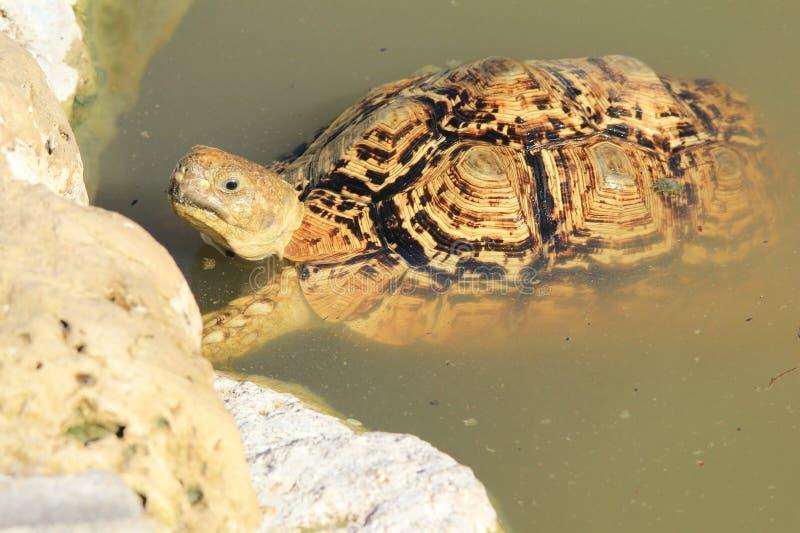 Tortoise tło - Afrykański przyroda humor zdjęcie stock