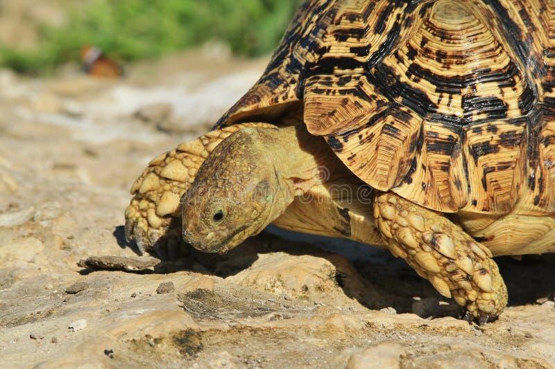 Tortoise tło - Afrykański przyrody piękno zdjęcia royalty free
