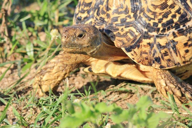 Tortoise tło - Afrykański przyrody piękno zdjęcie stock
