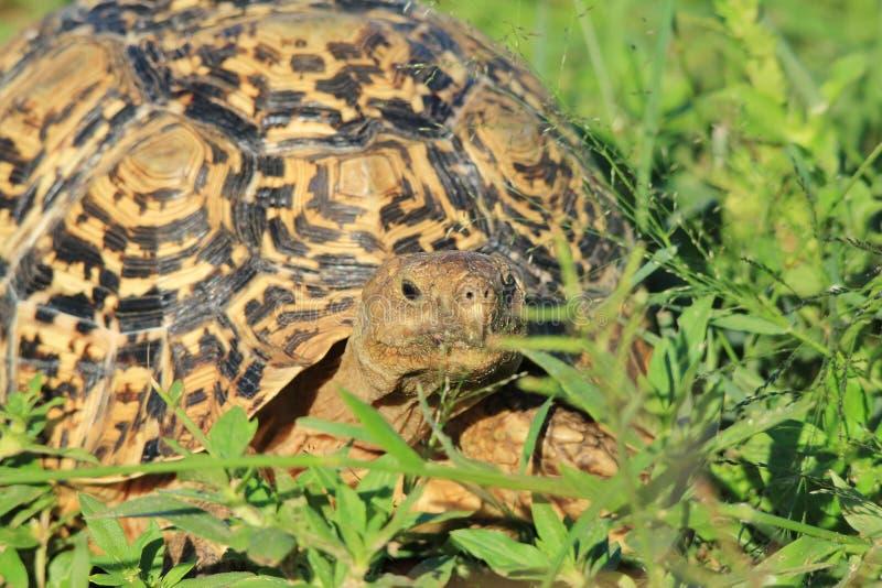 Tortoise tło wzory - Dziki Afryka - zdjęcie stock