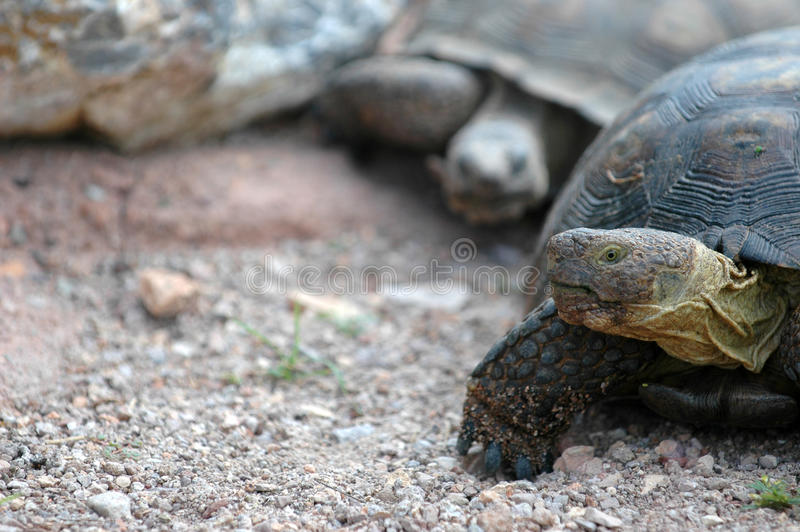 Tortoise Time. Two large tortoises walking in the desert, one following the other stock photography