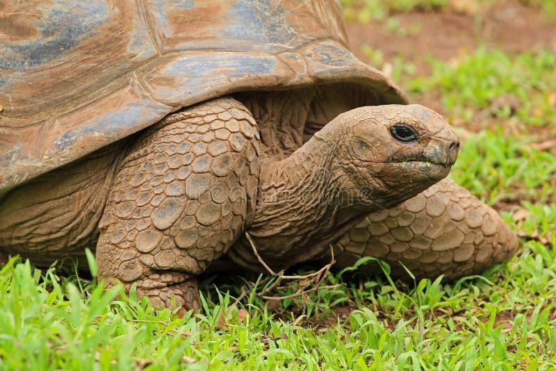 Tortoise w Mauritius obrazy stock