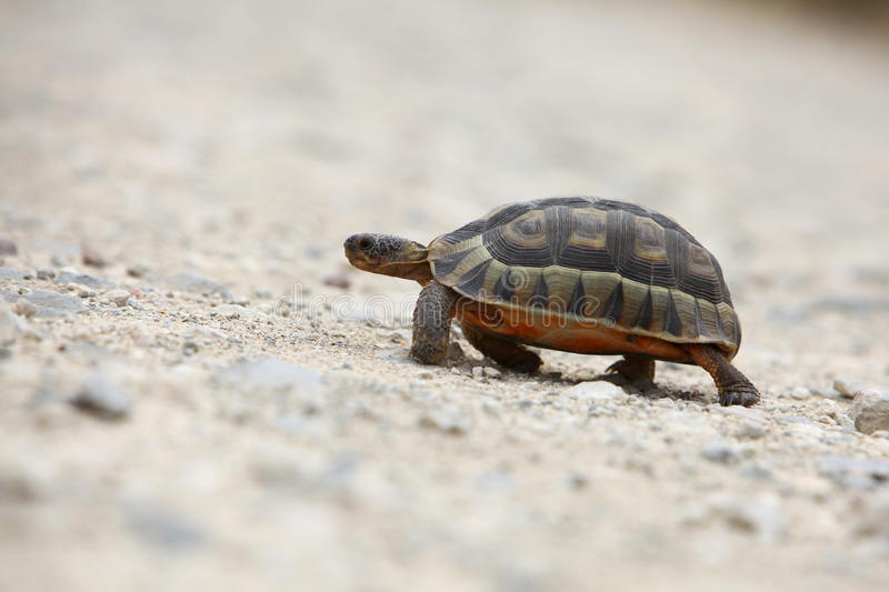 Tortoise walking. On the sand stock images