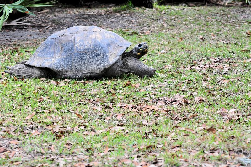 Tortoise Walking royalty free stock images