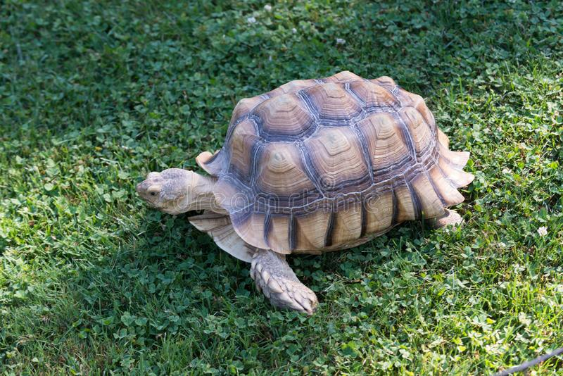 Tortoise walking to the grass stock images