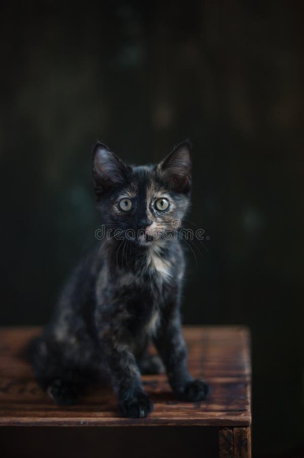 Tortoisehell Cat stock photography
