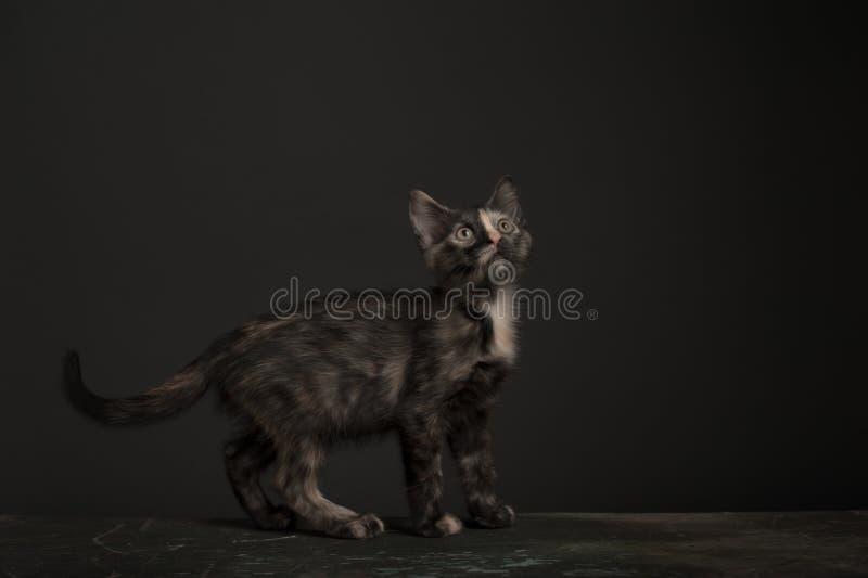 Tortoisehell Cat royalty free stock photography