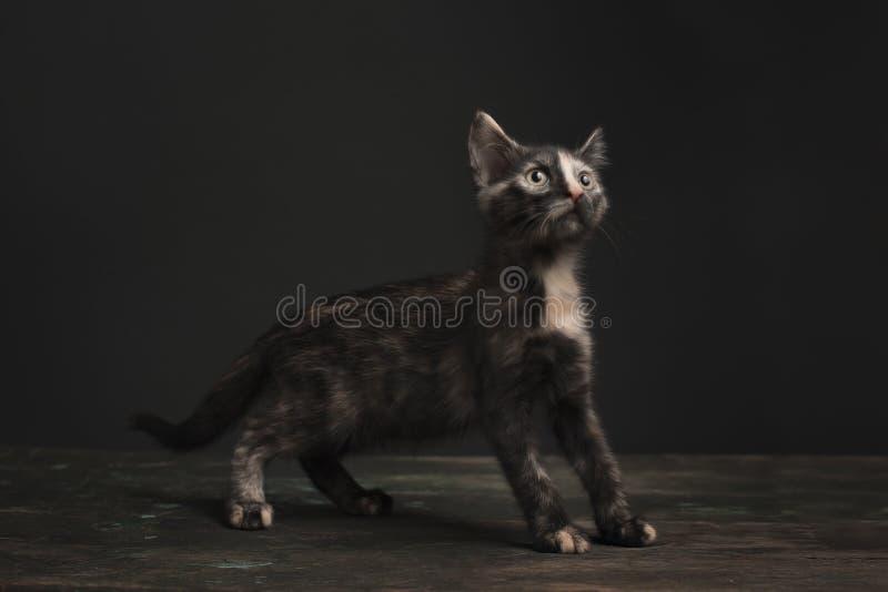 Tortoisehell Cat royalty free stock photos