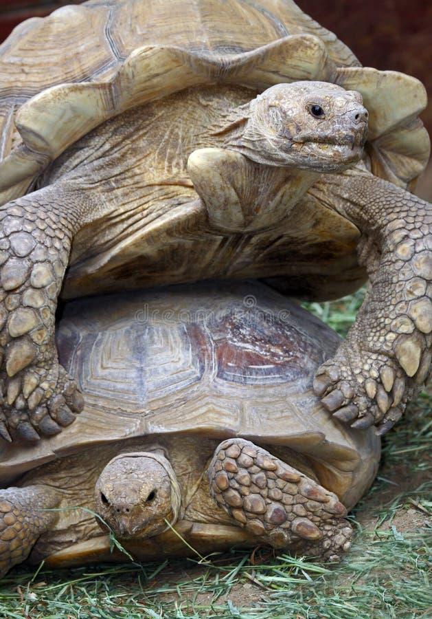 Tortoises. Tortoise climbing on another to mate stock photos