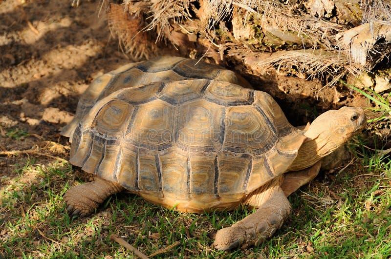tortoises στοκ εικόνα με δικαίωμα ελεύθερης χρήσης