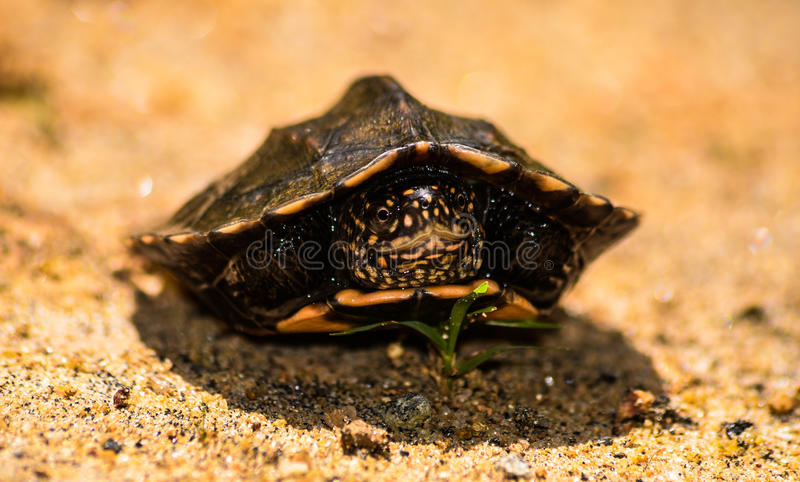 Tortoises royalty free stock images