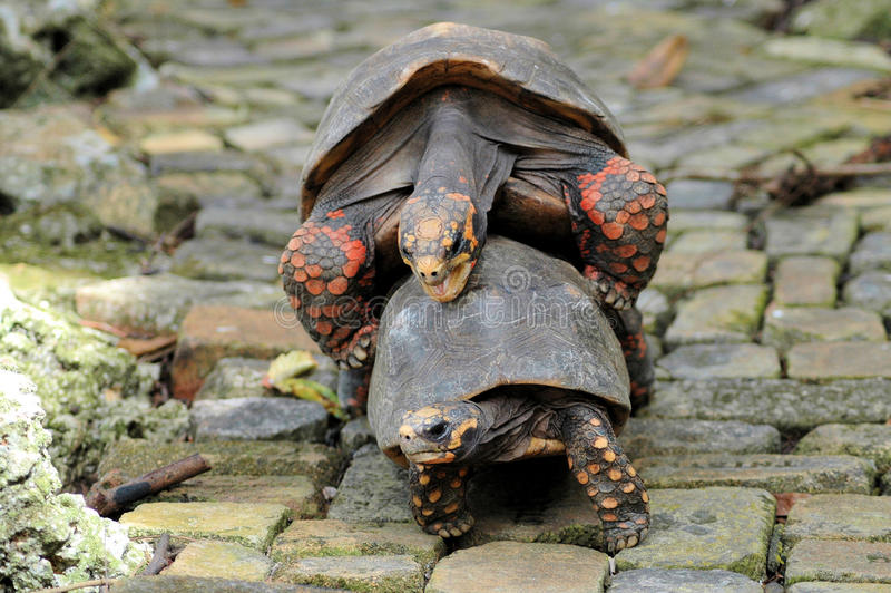 Tortoises mating. Two tortoises in Barbados mating royalty free stock image