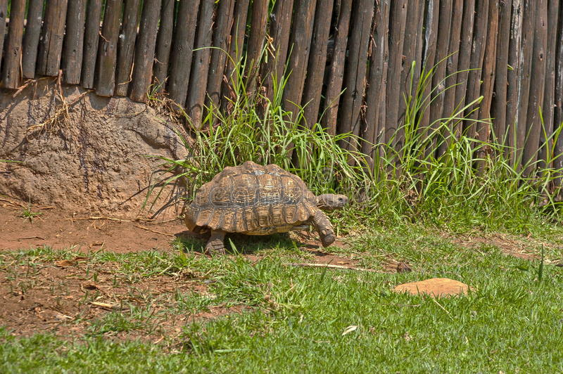 Tortoises move slowly in JHB zoo. South Africa stock photos