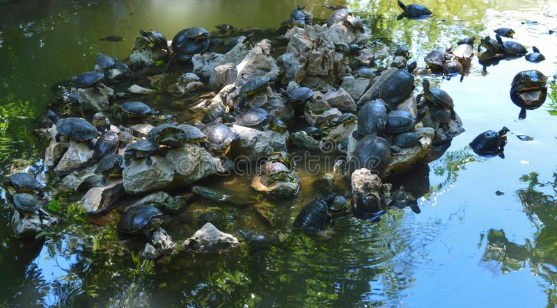 Tortoises in National Garden in Athens, Greece on June 23, 2017. ATHENS, GREECE - JUNE 23: Tortoises in National Garden in Athens, Greece on June 23, 2017 stock photo