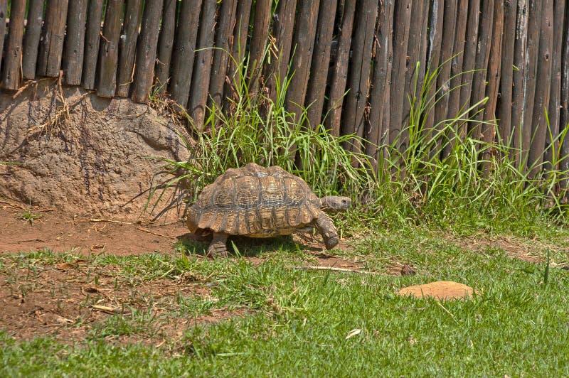 Tortoises ruszają się wolno w JHB zoo zdjęcia stock
