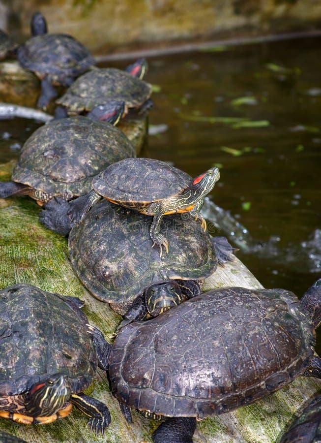 Download Tortoises on waters edge stock photo. Image of slow, tortoise - 24599902