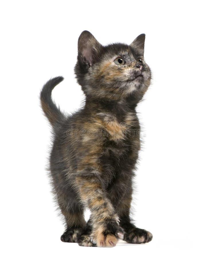Download Tortoiseshell 2 месяцев котенка Стоковое Изображение - изображение насчитывающей портрет, студия: 6854667