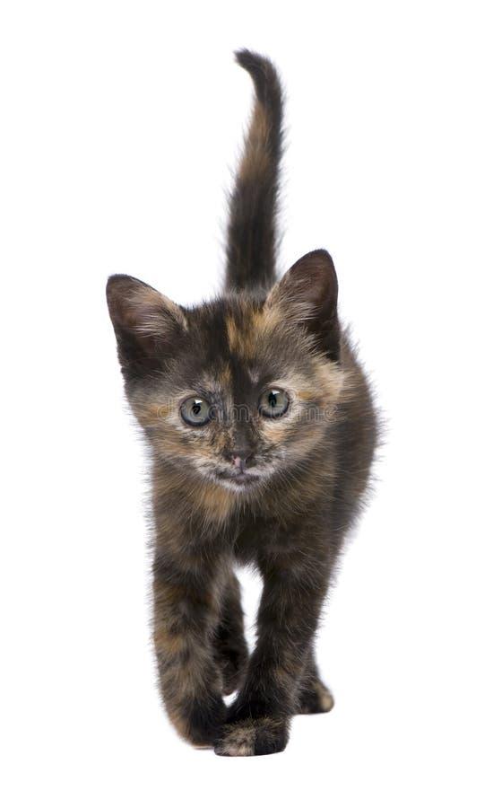 Download Tortoiseshell 2 месяцев котенка Стоковое Изображение - изображение насчитывающей тварь, причаливая: 6854753