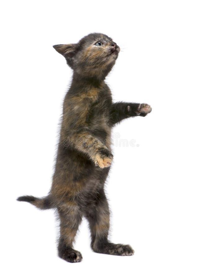 Download Tortoiseshell 2 месяцев котенка Стоковое Фото - изображение насчитывающей студия, любимчик: 6855012