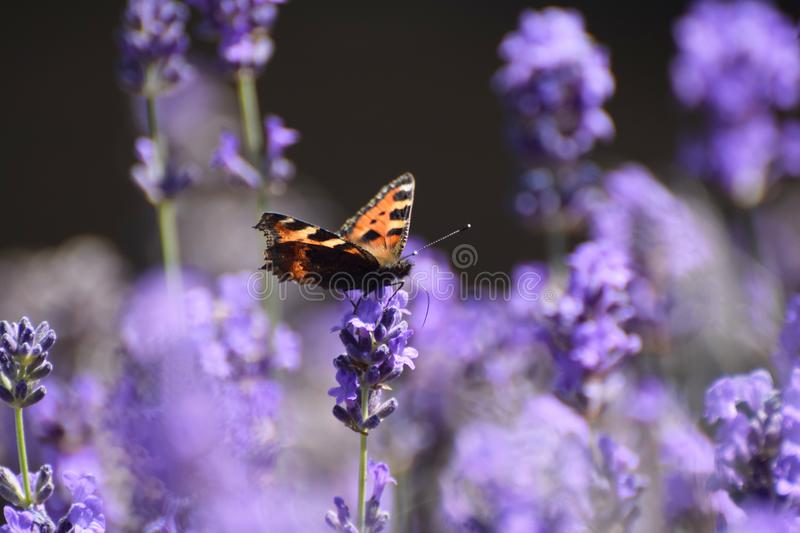 Tortoiseshell Butterfly Aglais urticae on Lavender. A Tortoiseshell butterfly Aglais urticae feeding on lavender flowers in July in the UK royalty free stock photos