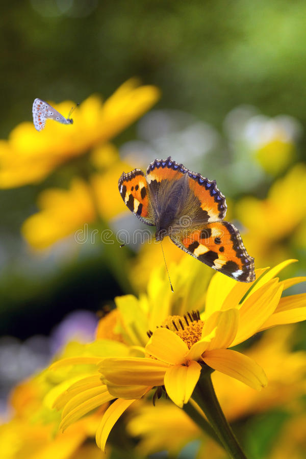 Tortoiseshell butterfly and bumble stock photography