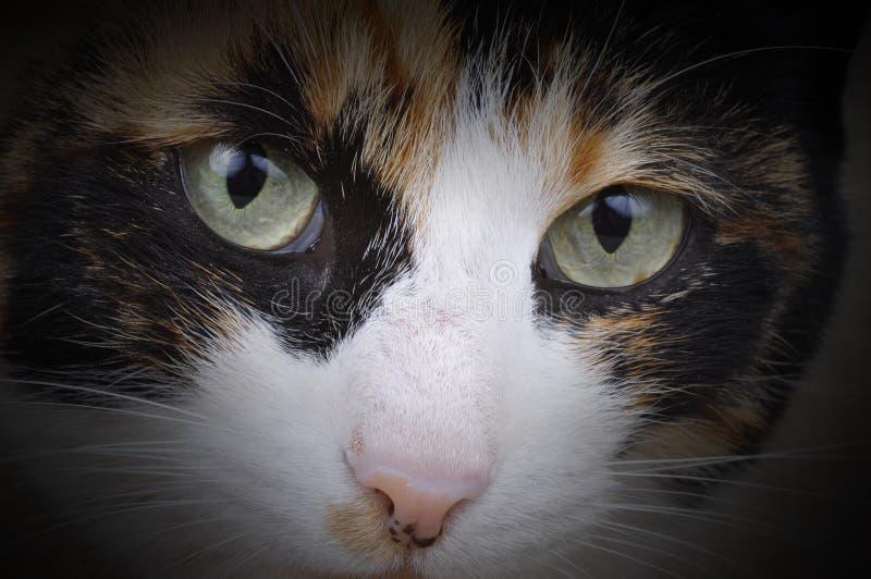 Tortoiseshell Cat. A female tortoiseshell cat, called Mia. Photographed in a studio stock photography
