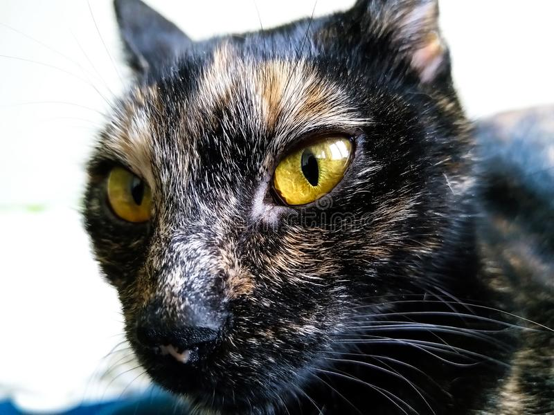 Tortoiseshell cat closeup. Closeup of a beautiful domestic tortoiseshell cat royalty free stock images