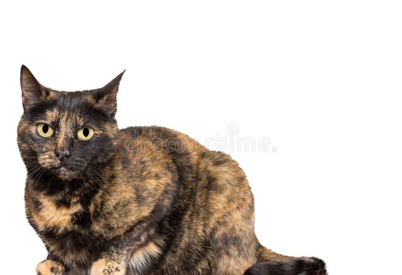 Tortoiseshell cat. Closeup of tortoiseshell cat standing over white background royalty free stock photo