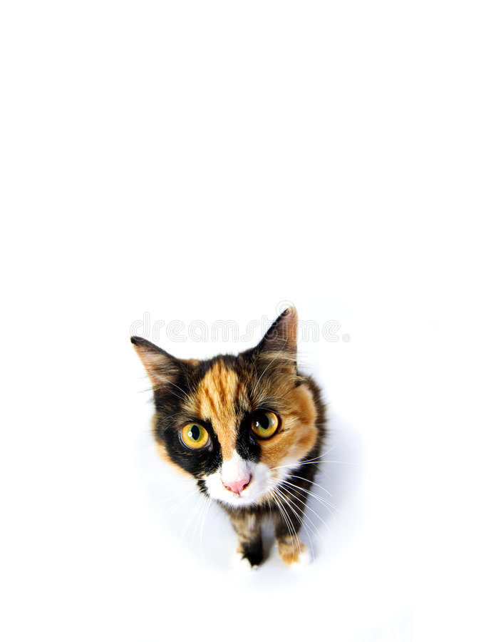 Tortoiseshell cat staring. Toirtoiseshell cat staring up at camera on white background stock photo