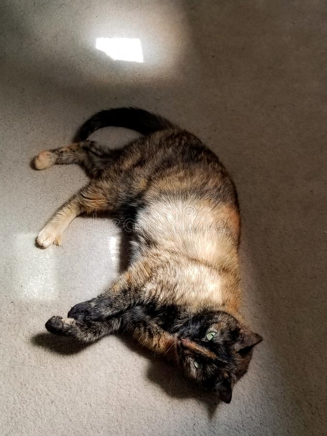 Domestic Tortiseshell cat taking a nap in the sun royalty free stock photo