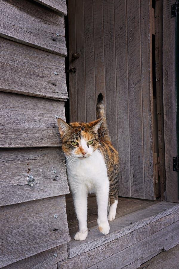 Tortoiseshell kot w drzwi stara drewniana jata obrazy royalty free