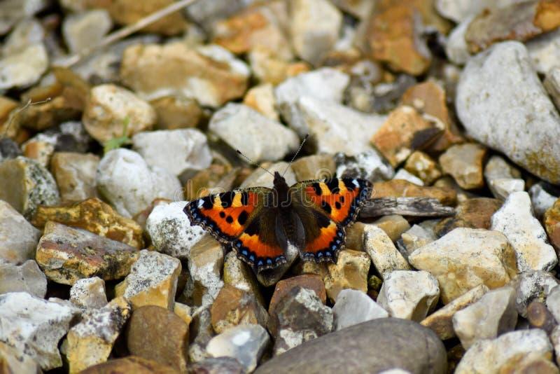 Tortoiseshell motyl zdjęcie stock