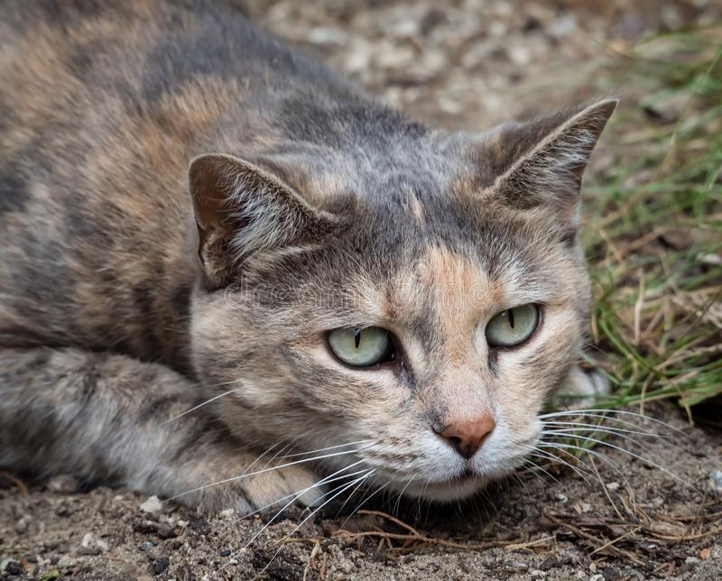 Tortoiseshell tabby cat crouching down about to pounce. Beautiful grey and peach tortoiseshell tabby cat crouching down about to pounce while hunting in the stock image