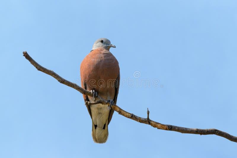 Tortora dal collare orientale rossa, tranquebarica rosso di Streptopelia o della tortora, uccello rosso che si appollaia sul ramo fotografia stock