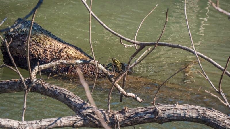Tortue à oreilles rouge de glisseur montant sur une ouverture l'eau sombre d'une rivière photos stock